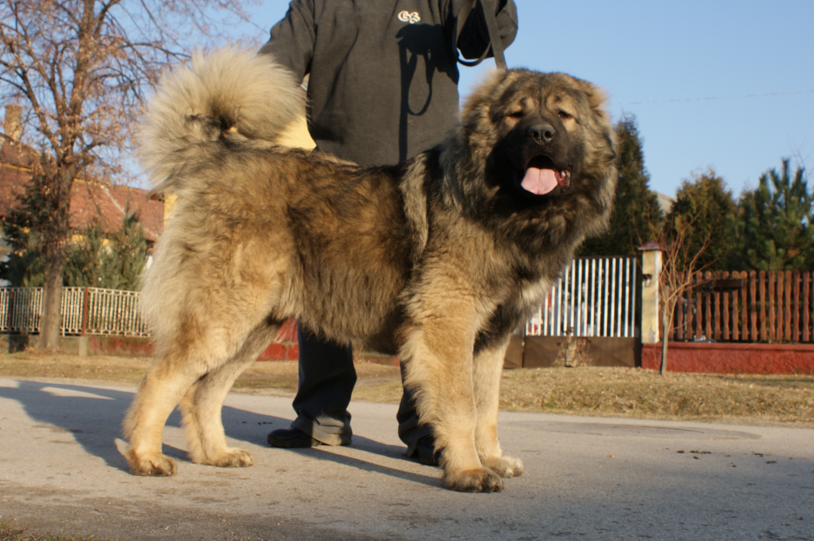 Mountain Dogs For Sale